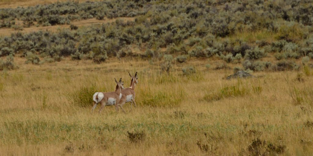 Pareja de ciervos en Yellowstone. Calafiana