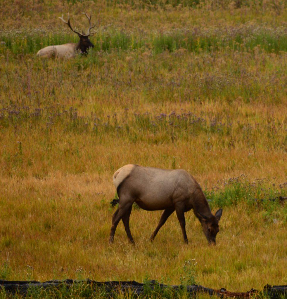 Ciervos (Deers) Yellowstone