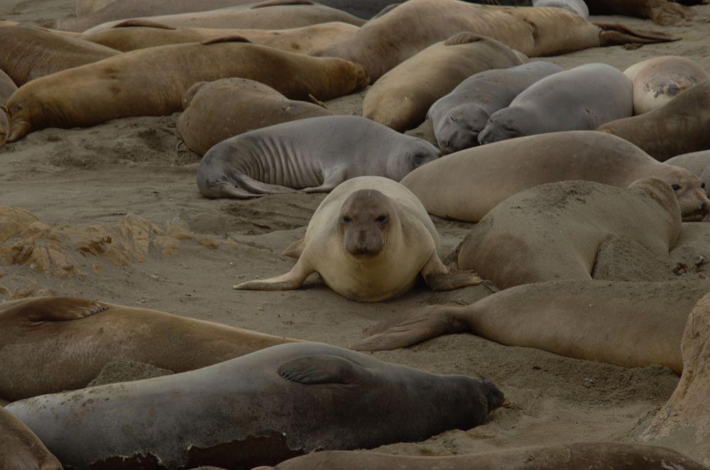 Elefantes marinos en Playa Piedras Blancas